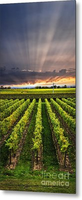 Vineyard At Sunset Metal Print by Elena Elisseeva
