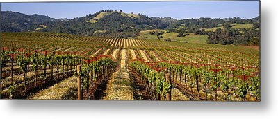 Vineyard, Geyserville, California, Usa Metal Print by Panoramic Images