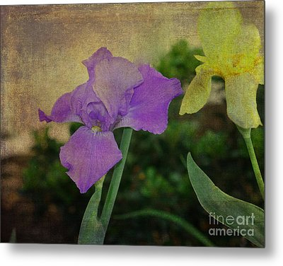 Violet And Yellow Irises  Metal Print by Amanda Collins
