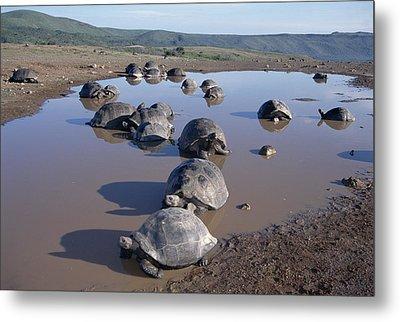 Volcan Alcedo Giant Tortoise Wallowing Metal Print by Tui De Roy