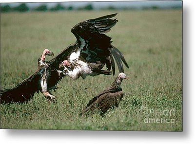 Vulture Fight Metal Print by Gregory G. Dimijian, M.D.