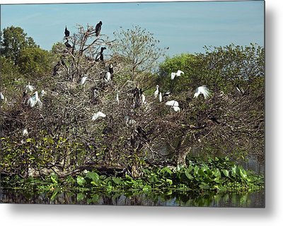 Wading Birds Roosting In A Tree Metal Print by Bob Gibbons