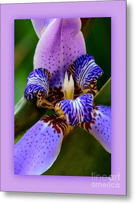 Walking Iris With Purple Border Metal Print by Carol Groenen