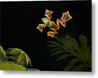 Wallaces Flying Frog Danum Valley Sabah Metal Print by Ch'ien Lee