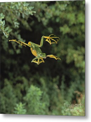 Wallaces Flying Frog Metal Print by Stephen Dalton