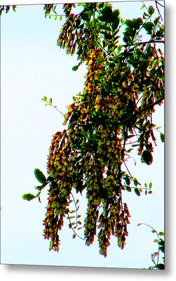 Walnut Blooms Metal Print by Tina M Wenger