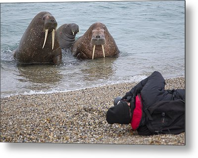 Walruses Photographed By Tourists Metal Print by Peter Cairns