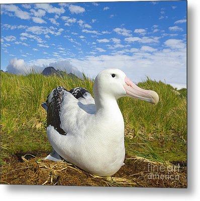 Wandering Albatross Incubating S Georgia Metal Print by