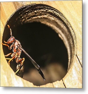 Wasp Metal Print by Steven  Taylor