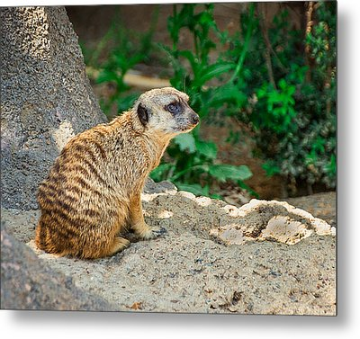 Watchful Meerkat Metal Print by Jon Woodhams