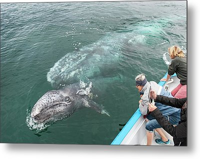 Watching Gray Whales Metal Print by Christopher Swann