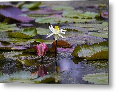 Water Lillies9 Metal Print by Charles Warren