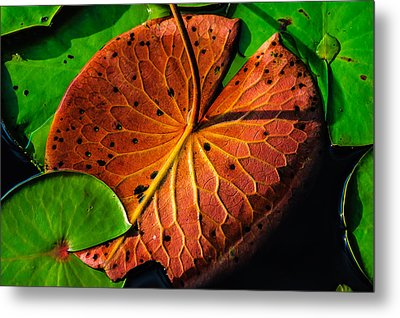 Water Lily Pad Metal Print by Louis Dallara