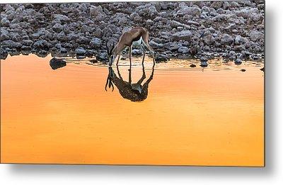 Waterhole Sunset - Springbok Antelope Photograph Metal Print by Duane Miller