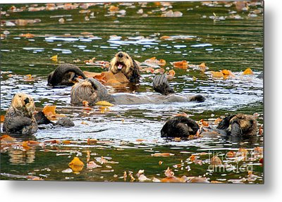 We Otter Be In Pictures Metal Print by Bob Hislop