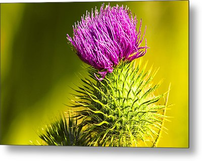 Wearing A Purple Crown - Bull Thistle Metal Print by Mark E Tisdale