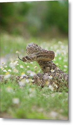 Western Diamondback Rattlesnake Metal Print by Larry Ditto