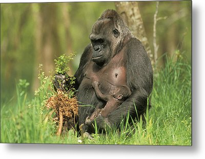Western Gorilla And Young Metal Print by M. Watson