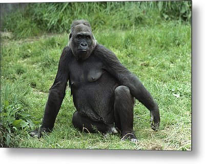 Western Lowland Gorilla Female Metal Print by Gerry Ellis
