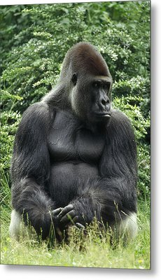 Western Lowland Gorilla Male Metal Print by Konrad Wothe