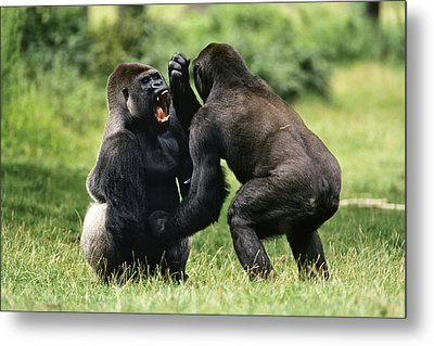 Western Lowland Gorilla Males Fighting Metal Print by Konrad Wothe