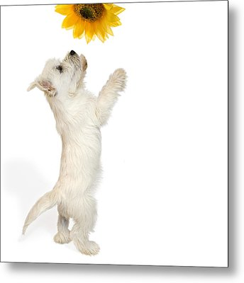 Westie Puppy And Sunflower Metal Print by Natalie Kinnear