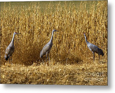 Where Is The Corn Metal Print by Mike  Dawson