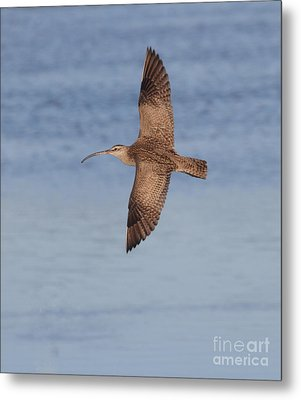 Whimbrel In Flight Metal Print by Ruth Jolly