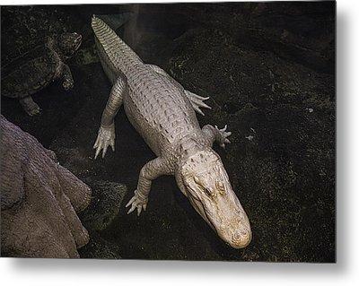 White Alligator Metal Print by Garry Gay
