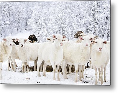 White As Snow Metal Print by Thomas R Fletcher