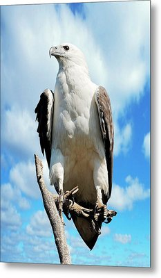 White-bellied Sea Eagle Metal Print by Bildagentur-online/mcphoto-schulz