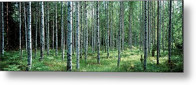 White Birches Aulanko National Park Metal Print by Panoramic Images