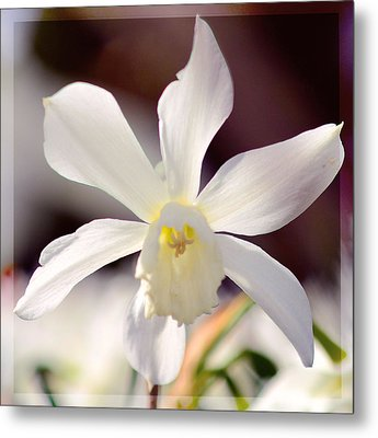 White Daffodil Metal Print by Toppart Sweden