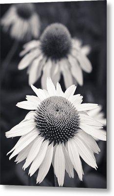White Echinacea Flower Or Coneflower Metal Print by Adam Romanowicz