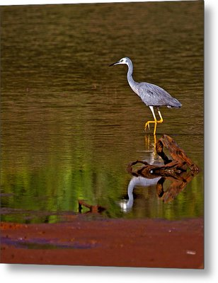 White Faced Heron And His Reflection Metal Print by Mr Bennett Kent