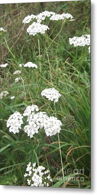 White Flowers Metal Print by John Williams
