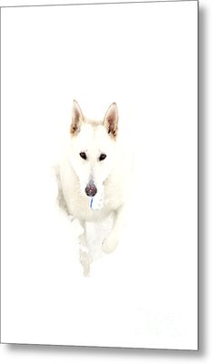White German Shepherd In Snow Metal Print by Thomas R Fletcher