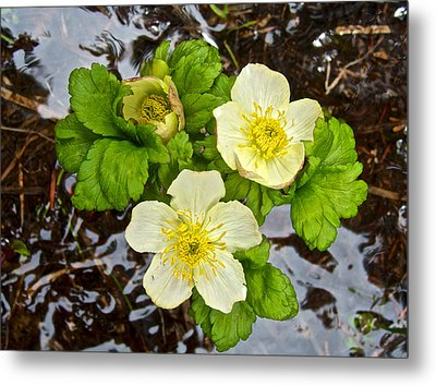 White Globeflowers On Consolation Lakes Trail In Banff Np-ab Metal Print by Ruth Hager