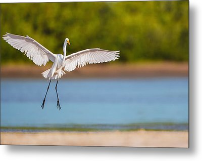 White Heron Landing Graciously Metal Print by Andres Leon
