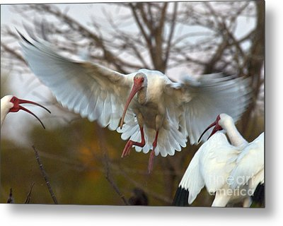 White Ibis Metal Print by Mark Newman