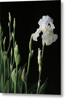 White Iris In Black Of Night Metal Print by Guy Ricketts