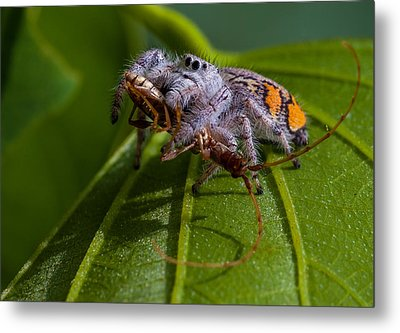 White Jumping Spider With Prey Metal Print by Craig Lapsley