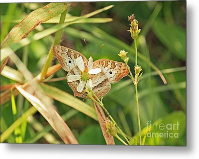 White Peacock Butterfly On Wild Daisy Metal Print by Terri Mills