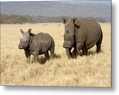 White Rhino Calf Metal Print by Chris Scroggins