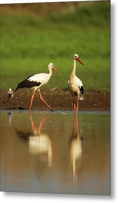 White Stork (ciconia Ciconia) Metal Print by Photostock-israel