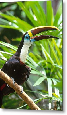 White-throated Toucan Metal Print by Art Wolfe