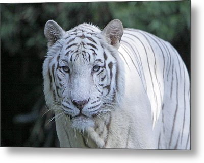 White Tiger Face Metal Print by Shoal Hollingsworth