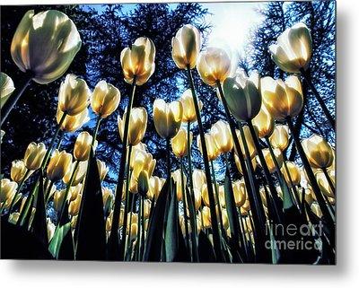 White Tulips Metal Print by Merthan Kortan