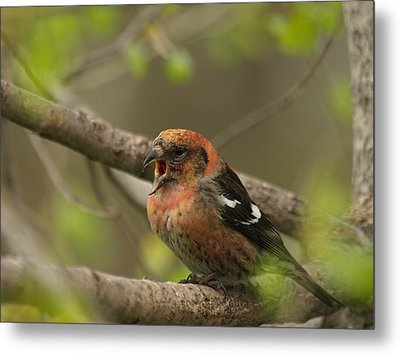 White-winged Crossbill Metal Print by James Peterson