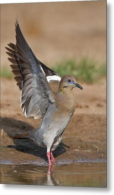 White-winged Dove (zenaida Asiatica Metal Print by Larry Ditto